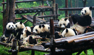 chengdu-pandas-680-1